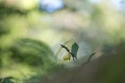 Frauenshuh, lady's-slipper orchid