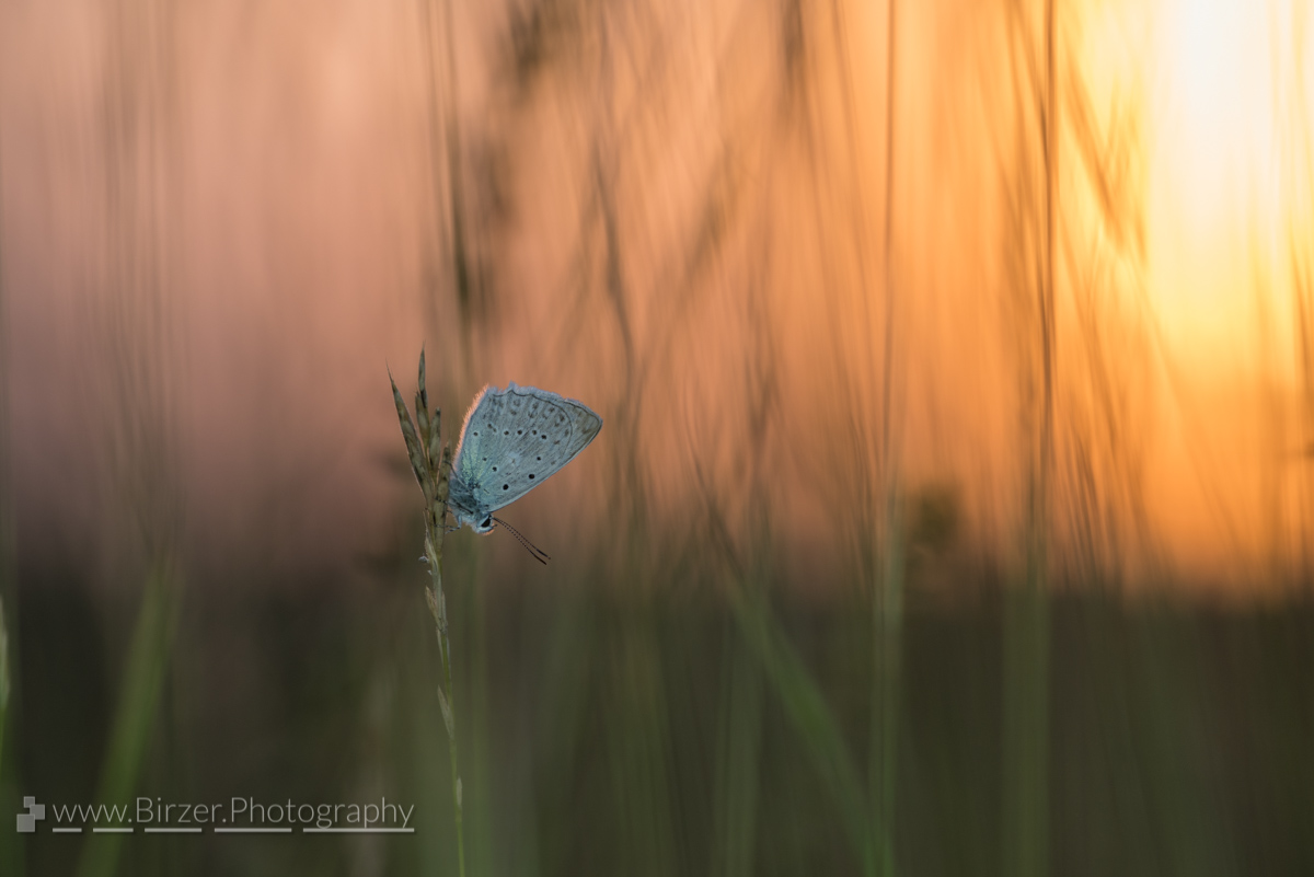 Sunset butterfly