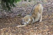 Wolf bei der Morgengymnastik